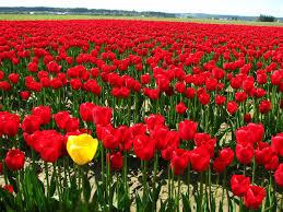 اجمل الورود في العالم الحمراء اللون