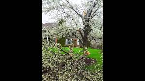 How To Avoid Pear Tree Disasters - Tree Service - Giroud Tree and Lawn -  YouTube