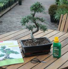 15 year old bonsai tree gift set by all
