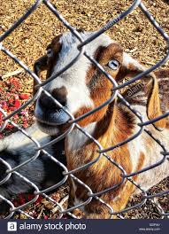 Goat Behind Chain Link Fence High Resolution Stock Photography And Images Alamy