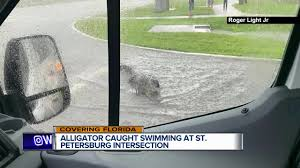 Video Alligators Caught Climbing Fences And Swimming Across Roads In Florida