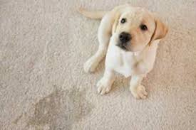 how to remove pet urine from your carpet