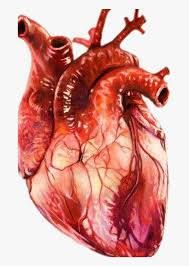 Realistic Download Free With - Realistic Human Heart Drawing, HD Png Download , Transparent Png Image - PNGitem