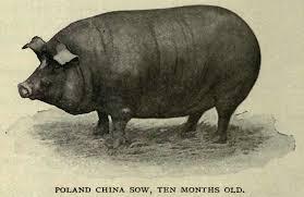 Poland China | A Landing a Day