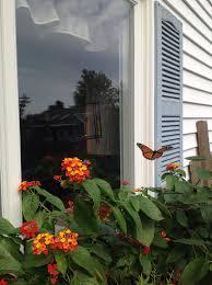 Monarchs Just Love Lantana And Milkweed Plant More Their Numbers Are Falling Way Down Lantana Milkweed Plants