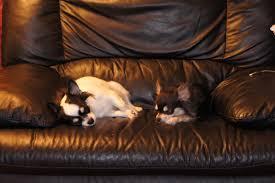 akc chihuahua purebred puppies