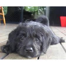 small male poodle x english staffy dog