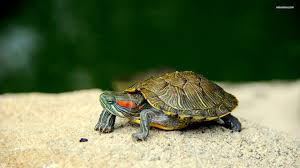 cute turtle wallpaper 59 images