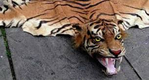 woman sentenced in tiger skin rugs case