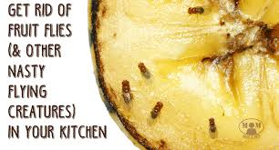 fruit flies and gnats in the kitchen