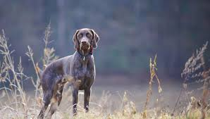 german shorthaired pointer all about dogs