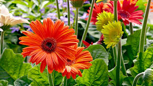 how to grow better gerbera daisies