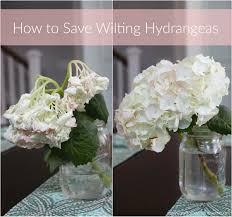 borrowed heaven how to save wilting hydrangeas