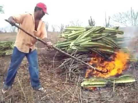 """Resultado de imagem para fogueira queimando cactos"""""""