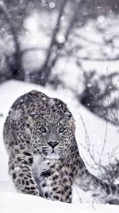 snow leopard snow winter slope