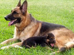 german shepherd breeders puppies for