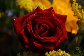 صور ورد جوري جديدة 2020 اجمل الورود بكل الالوان احمر اصفر بنفسجي