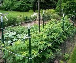 Pin By Cherri Thompson On A Gazillion Great Garden Ideas Raspberry Plants Growing Raspberries Plants