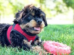 chihuahua poodle mix aka chipoo a