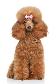 browse toy poodle puppies for adoption