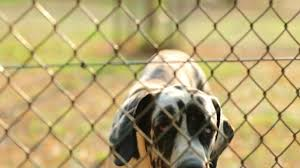 Dog Barking Behind Fences Great Dane Breed With Taints Barking To Camera In 4k Resolution Stock Video Download Video Clip Now Istock