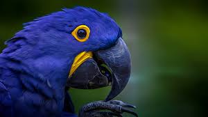 macaw hd wallpaper gnome look org