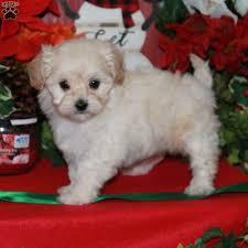 lhasa poo puppies breed