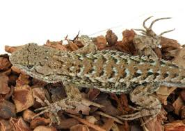Texas Fence Lizard Care
