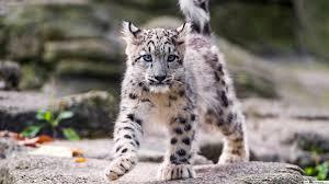young snow leopard hd wallpaper