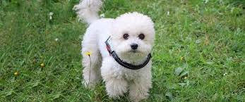 what s the best dog food for poodles