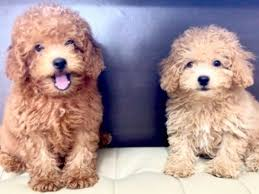 toy poodle harrods teddy features