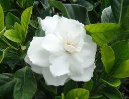 gardenia dwarf plant at rs 75 no