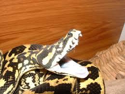 jungles south west pythons