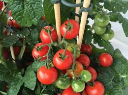 6 best soil for tomatoes 2020
