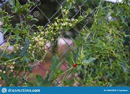 Climbing Plant On A Wire Fence Stock Image Image Of Climber Bitter 154610905