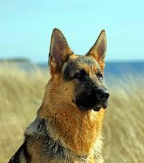 lice or fleas on german shepherd dogs
