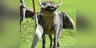 warthog s at the cincinnati zoo