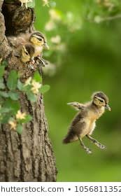 Wood Duck Jump Taken Minnesota Under Stock Photo (Edit Now) 1056811352
