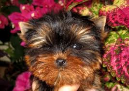 teacup yorkie puppies yorkie breeder