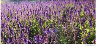 how to grow herbs for texas landscapes