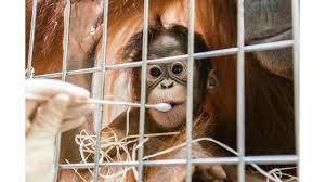 surprise in swiss orangutan paternity test