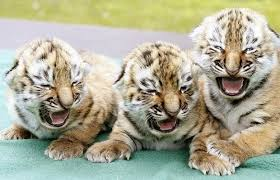 Russia to donate three rare Siberian tigers to South Korea - Apr ...