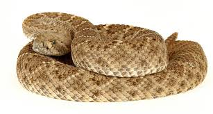 Rattlesnake Class A Must For Dogs The San Diego Union Tribune