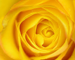 ورد اصفر طبيعي صور ورد وزهور Rose Flower Images