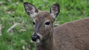 Too Many Deer A Bigger Threat To Eastern Forests Than Climate Change