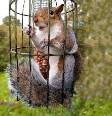 Greedy Squirrel Stuck In Bird Feeders Deliver Me Out Of Here Squirrel Pictures Animals Squirrel