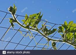 Organic Winter Melon Plant Climbing Up The Chicken Wire Mesh Part Of Urban Gardening Project Is Seen On A Sunny Summer Day Stock Photo Alamy