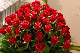 اجمل وردة حمراء في العالم رمز الحب والجمال يكمن في زهرة حمراء