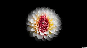 جميل زهرة الداليا بيضاء وخلفية سوداء تنزيل خلفية Hd