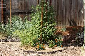 Fitting Lots Of Tomatoes In A Small Space For Variety And Harvest Under The Solano Sun Anr Blogs